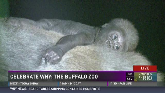 Celebrate WNY: New Gorilla at the Buffalo Zoo