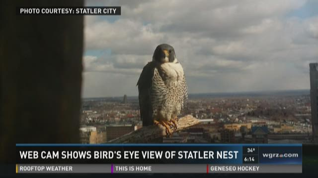 Statler Falcon Cam Provides 247 Birds Eye View Of Peregrine Falcon